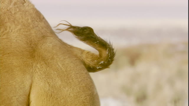 Bactrian camel waves its tail, Gobi Desert, Mongolia Available in HD