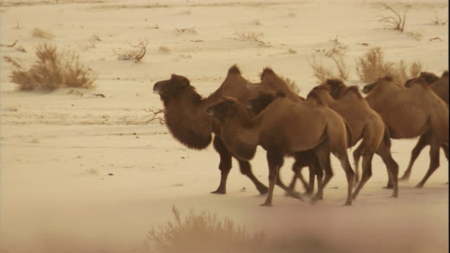 stockvideo's en b-roll-footage met bactrian camels in snow, gobi desert, mongolia available in hd - mongolië