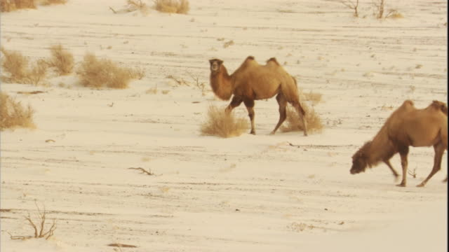 bactrian camels in snow, gobi desert, mongolia available in hd - camel stock videos & royalty-free footage
