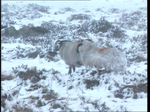 day 2; westcountry tv england: devon: dartmoor snow on ground gv snow-covered landscape with road signs just visible snowing tms two sheep standing... - deep snow stock videos & royalty-free footage