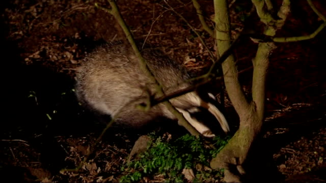 badger cull postponed by government; lib night badger foraging in undergrowth - foraging stock videos & royalty-free footage