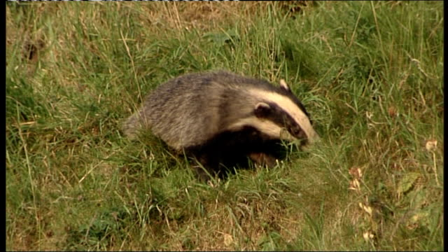 badger cull supported by government to stop spread of bovine tuberculosis; location unknown: ext badgers along in grass - tuberculosis stock videos & royalty-free footage