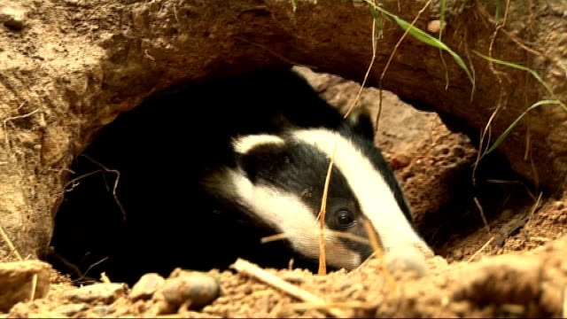vídeos de stock e filmes b-roll de badger cull supported by government to stop spread of bovine tuberculosis kent ext close shot of badger coming out of it's sett at nature reserve bv... - tuberculose