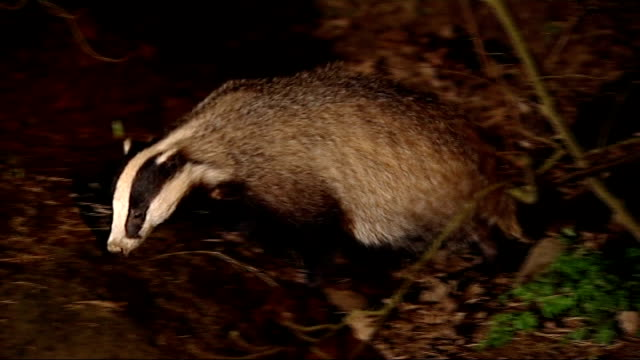 badger culling programme in wales halted by court of appeal r27020806 various of badger foraging in undergrowth - foraging stock videos and b-roll footage
