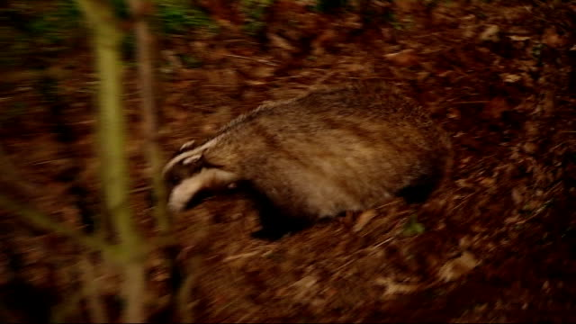 badger foraging - foraging stock videos & royalty-free footage
