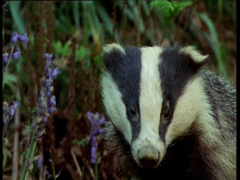 Badger looks around in bluebell wood, UK