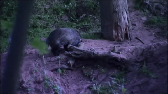 stockvideo's en b-roll-footage met badgers foraging in the evening - foerageren