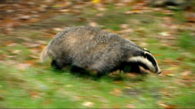 badgers halt play at rickmansworth cricket club; r17101205 / kent: herne bay: wildwood animal park: badger in outdoor pen int badger along in indoor... - squadra di cricket video stock e b–roll