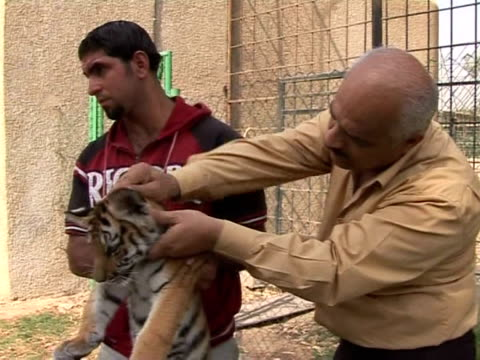 vídeos y material grabado en eventos de stock de baghdad's alzawraa zoo is enjoying a baby boom particularly among its big cats recently siberian tigers gave birth to twins and bengal tigers have... - animales en cautiverio