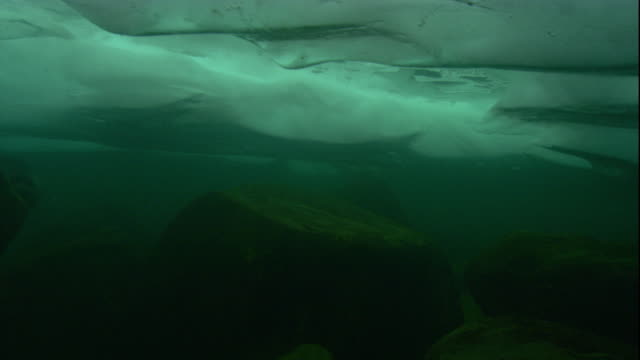 A Baikal seal swims under the ice that covers Lake Baikal. Available in HD.