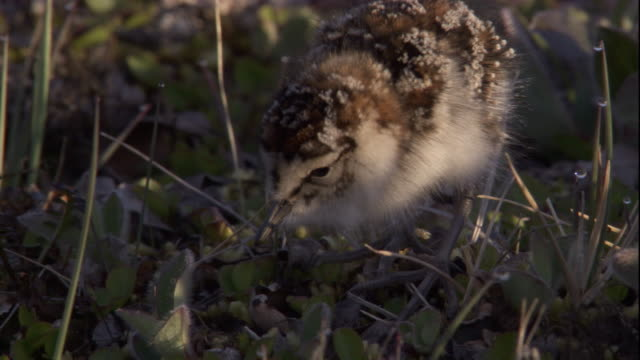 a baird's sandpiper chick forages on the tundra. available in hd - futter suchen stock-videos und b-roll-filmmaterial