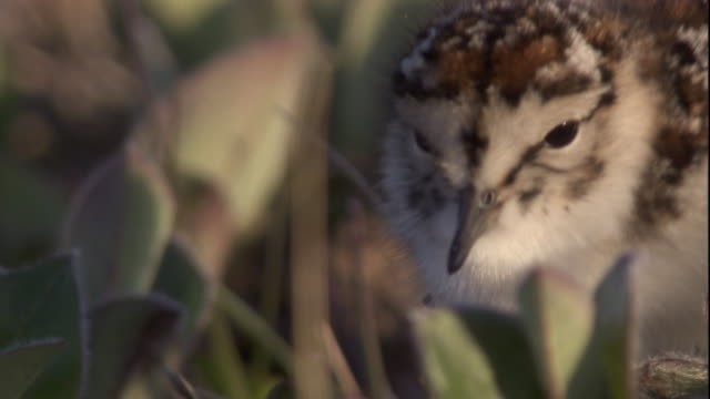 a baird's sandpiper chick forages on tundra in arctic canada. available in hd - futter suchen stock-videos und b-roll-filmmaterial