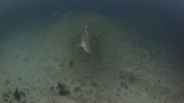 bait fish swarm around several goliath groupers - grouper stock videos & royalty-free footage