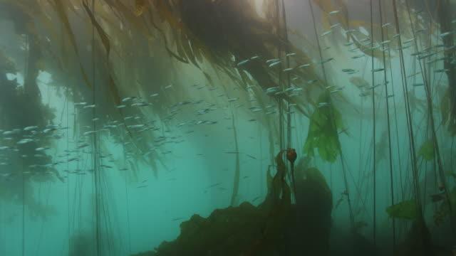 baitfish & kelp forest - pacific ocean bildbanksvideor och videomaterial från bakom kulisserna