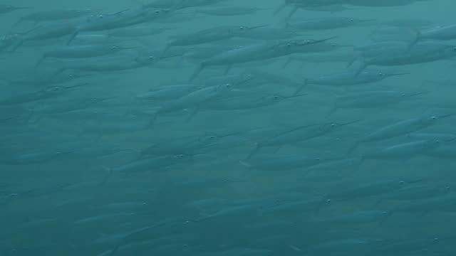 balaos. - dykarperspektiv bildbanksvideor och videomaterial från bakom kulisserna