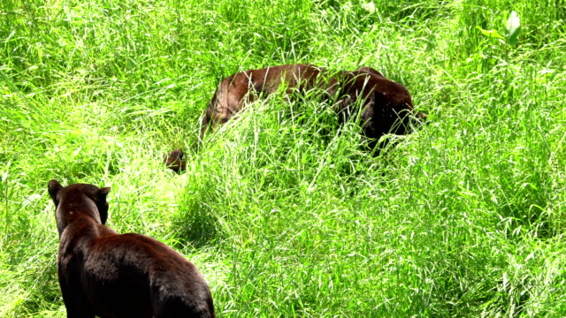 Balck panthers playing in the grass