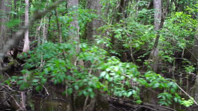 Cipreste-Calvo no pântano de ciprestes. Vista panorâmica do meio nas zonas húmidas, Carolina do Sul do Sul, EUA