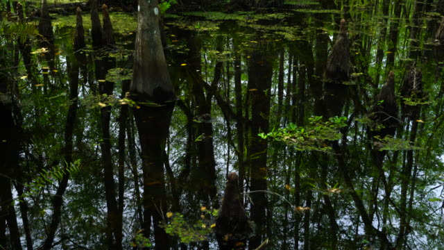 stockvideo's en b-roll-footage met bald cypress, six mile cypress slough preserve, fort myers, florida, usa, america - fort myers