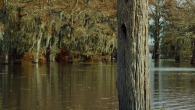 vídeos y material grabado en eventos de stock de un ciprés calvo frente a un bosque de cipreses cubiertos de musgo español en la ciénaga de cuenca del río atchafalaya en luisiana meridional - luisiana