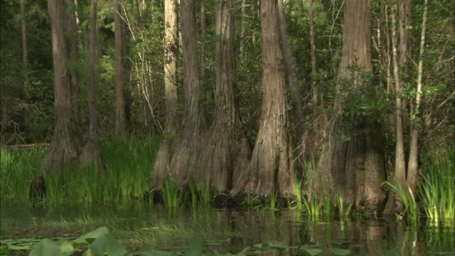 bald cypress trees, grass, and aquatic plants grow in the waters of the okefenokee swamp. - オケフェノキー国立野生生物保護区点の映像素材/bロール