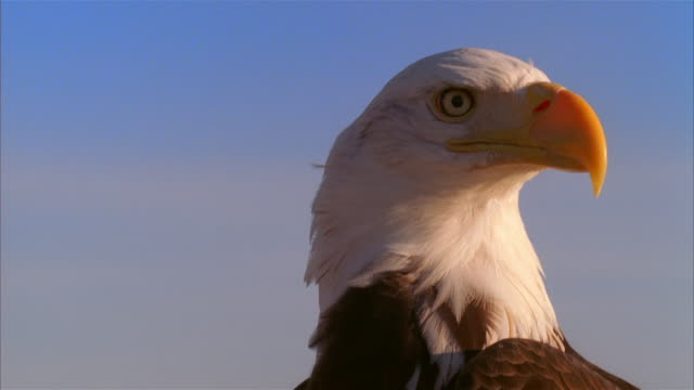 vidéos et rushes de cu, bald eagle against clear sky, boise, idaho, usa - aigle