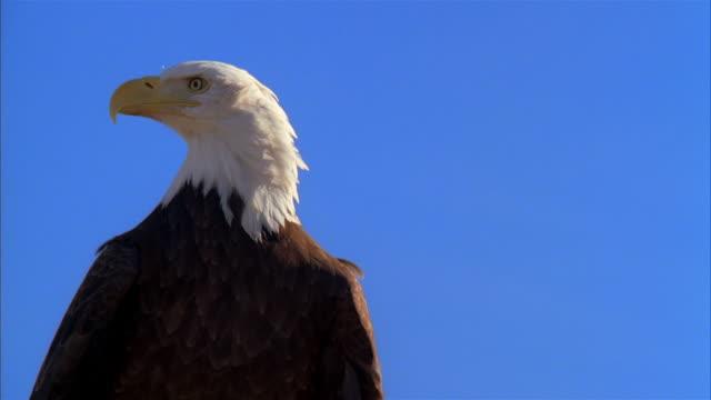 la, cu, bald eagle against clear sky, boise, idaho, usa - majestic stock videos & royalty-free footage