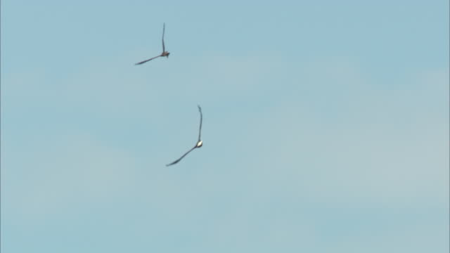 a bald eagle and a hawk fly across a blue sky. - bald eagle stock videos & royalty-free footage