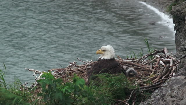 Bald eagle and eaglet in nest on cliff overlooking surf, from coastal Alaska
