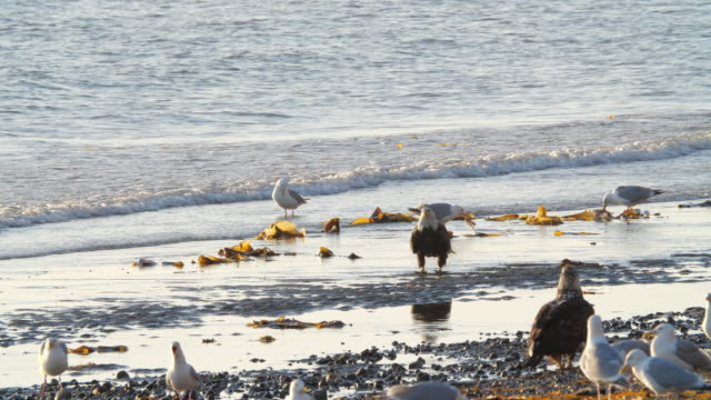 bald eagle and seagull birds on the beach at sunset in alaska - algae stock videos & royalty-free footage