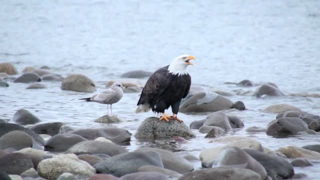 bald eagle calling and screeching - audio available stock videos & royalty-free footage