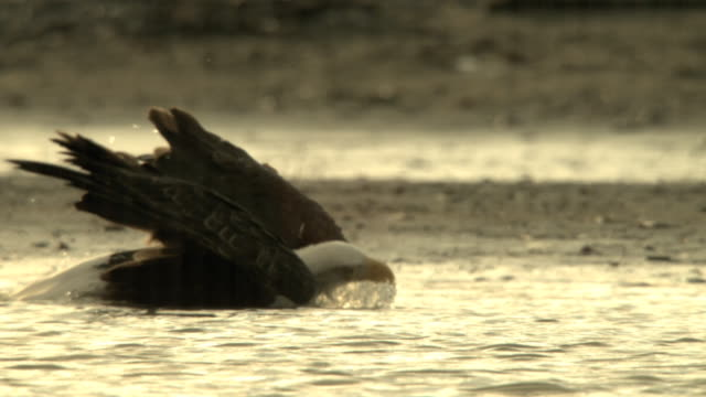 stockvideo's en b-roll-footage met a bald eagle dips its head below water and flips its head vigorously. - foerageren