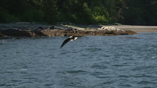 Bald Eagle Diving for Fish
