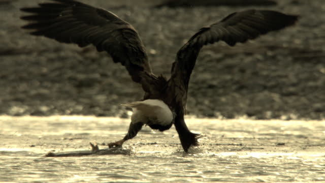 stockvideo's en b-roll-footage met a bald eagle drags a fish with one foot as a seagull forages nearby in the chilkat river. - foerageren
