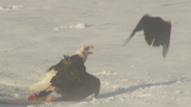 bald eagle eating salmon with ravens on ice flips up as another eagle swoops in through mist - rovfågel bildbanksvideor och videomaterial från bakom kulisserna