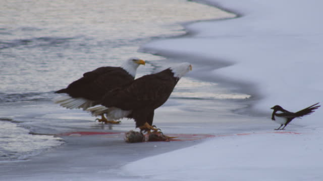 Bald Eagle eats from salmon carcase and is chased off by second eagle which then eats