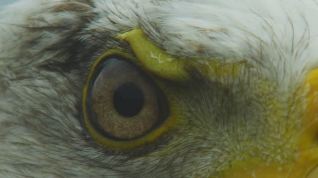 ecu bald eagle eye as it turns away - sensory perception stock videos & royalty-free footage