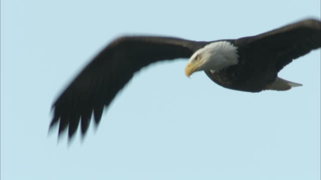 a bald eagle flaps its huge wings and then soars. - bird of prey stock videos & royalty-free footage