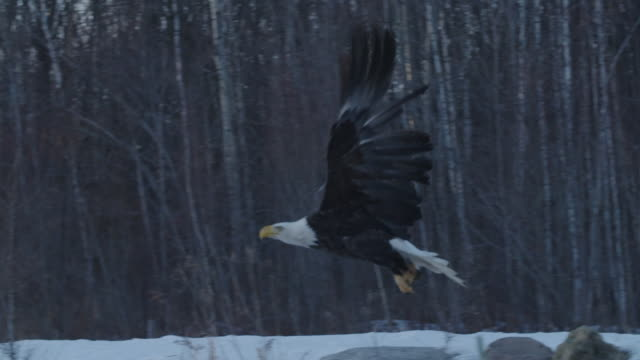 bald eagle flies away into forest - bald eagle stock videos & royalty-free footage