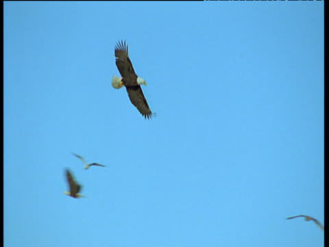 bald eagle flies in blue sky, sitka, alaska - chroma key stock videos & royalty-free footage