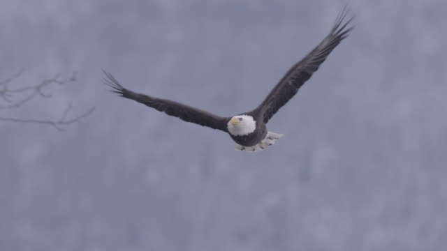 bald eagle (haliaeetus leucocephalus) flies over forest, alaska, usa - bald eagle stock videos & royalty-free footage