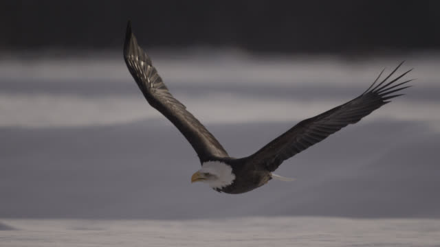 bald eagle (haliaeetus leucocephalus) flies over snowy landscape, alaska, usa - uccello video stock e b–roll