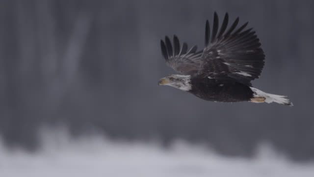 vídeos de stock, filmes e b-roll de bald eagle (haliaeetus leucocephalus) flies over snowy landscape, alaska, usa - animal selvagem