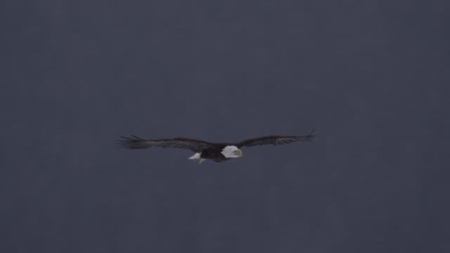bald eagle (haliaeetus leucocephalus) flies over snowy landscape, alaska, usa - bald eagle stock videos & royalty-free footage