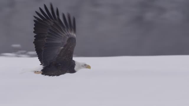 vídeos de stock, filmes e b-roll de bald eagle (haliaeetus leucocephalus) flies over snowy landscape, alaska, usa - asa animal