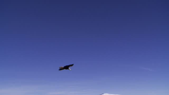 vidéos et rushes de slo mo ws ts bald eagle (haliaeetus leucocephalus) flying above snowy hills / boise, idaho, usa - aigle