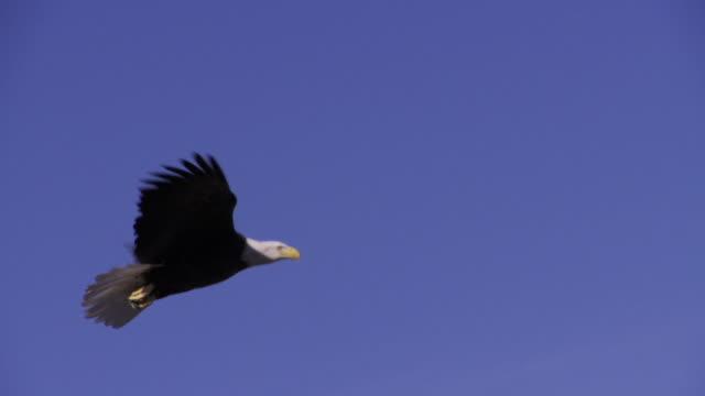 slo mo ws bald eagle (haliaeetus leucocephalus) flying against blue sky / boise, idaho, usa - bald eagle stock videos & royalty-free footage