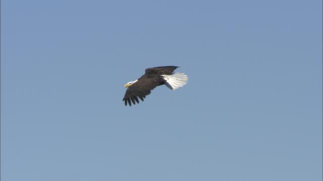 ws ms la bald eagle (haliaeetus leucocephalus) flying against clear sky above snow capped hills, boise, idaho, usa - bald eagle stock videos & royalty-free footage