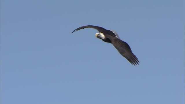 WS LA Bald Eagle (Haliaeetus leucocephalus) flying against clear sky above snow capped hills, Boise, Idaho, USA
