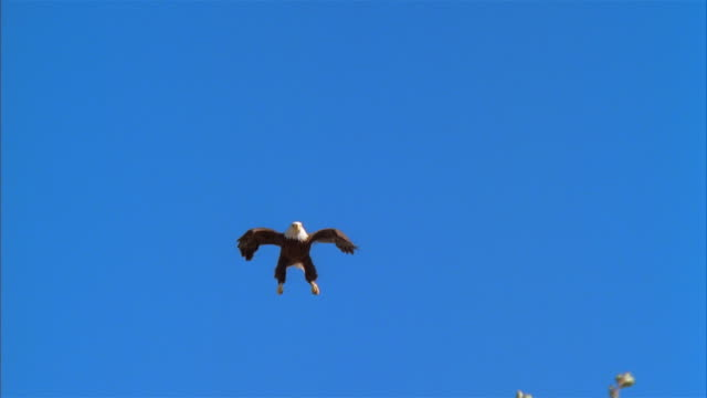 LA, WS, MS, Bald Eagle flying against clear sky and landing on rock, Boise, Idaho, USA