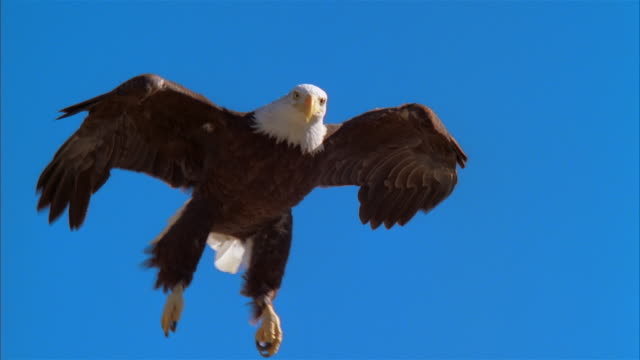 stockvideo's en b-roll-footage met la, ws, ms, bald eagle flying against clear sky and landing on rock, boise, idaho, usa - dichterbij komen